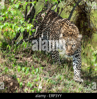 Adult female leopard (Panthera pardus) walking Maasai Mara National Reserve Kenya Africa - Stock Photo