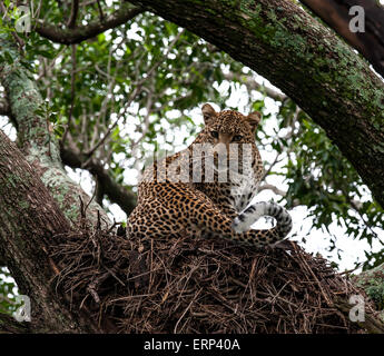 Adult female leopard (Panthera pardus) on hamerkop nest Olare Orok conservancy Kenya Africa - Stock Photo