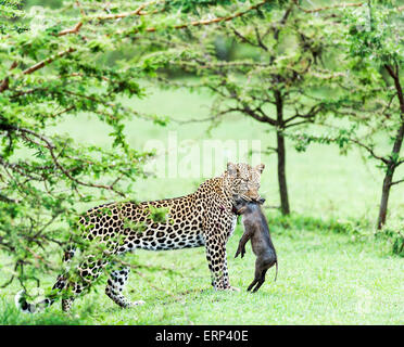 Adult female leopard (Panthera pardus) with warthog piglet in her mouth Mara North conservancy Kenya Africa - Stock Photo