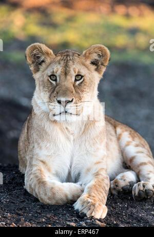Juvenile lion portrait (Panthera leo) Mara Naboisho conservancy Kenya Africa - Stock Photo