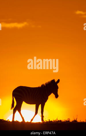 Plains zebra (Equus quagga) at dawn in Mara Naboisho conservancy Kenya Aftica - Stock Photo