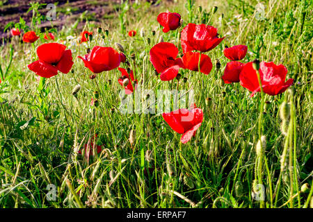 a lot of colorful poppies bloom in barley field in bulgaria stock, Beautiful flower
