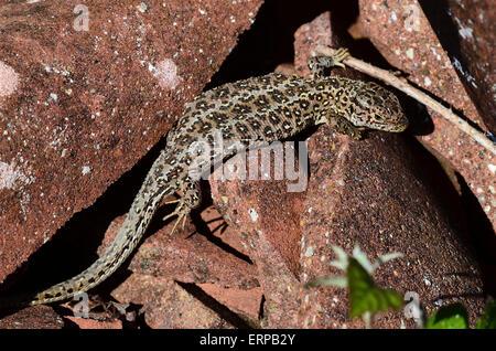 A sand lizard on some broken tiles Dorset UK - Stock Photo