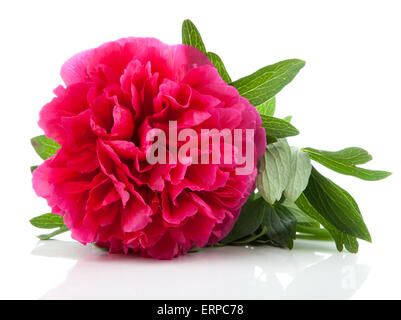 red peony flower isolated on white Stock Photo