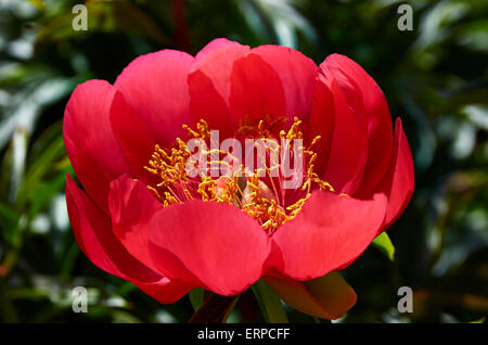 Peony Paeonia Peregrina 'OttoFroebal'. A May flowering peony in May with single blooms, cup shaped, in bright scarlet red.