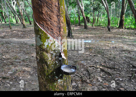 Tapping latex from a rubber tree. Bukit Lawang. Indonesia - Stock Photo