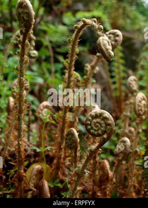 Curled young fern fronds know as Fiddleheads, UK - Stock Photo