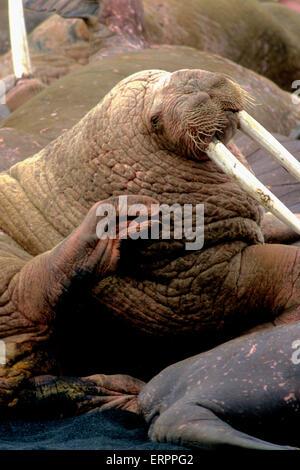 Male walrus (Odobenus rosmarus divergens) scratching neck with flipper - Stock Photo