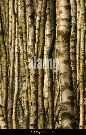 Dense stand of Silver birch [Betula pendula] April. Sussex, UK. Trunks only. - Stock Photo