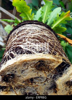 Pot bound plant roots, close up - Stock Photo