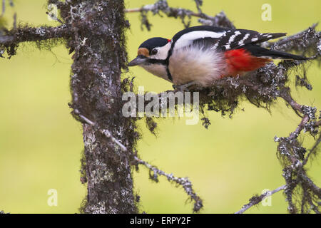 Great spotted woodpecker, Dendrocopos major, sitting in a spruce in Niilivara, Swedish lapland - Stock Photo