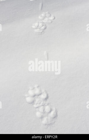 Grey wolf, Canis lupus tracks in snow in Kuhmo, Finland - Stock Photo