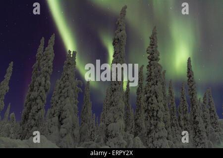 Northern light, Aurora borealis, with snow on the trees in Gällivare, Swedish lapland, Sweden - Stock Photo