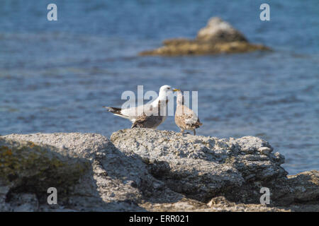 Juvenile common Gull, Larus canus seeking food from its mother on Gotland, Sweden - Stock Photo