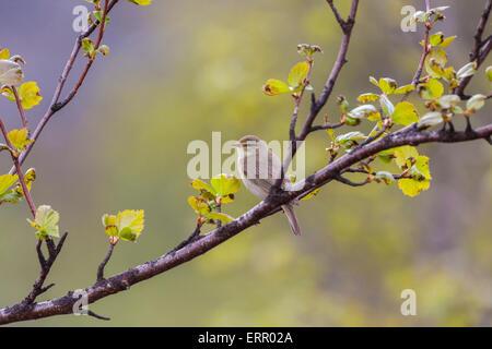 Willow warbler, Phylloscopus trochilus, sitting on a birch branch, in Gällivare, Swedish lapland - Stock Photo