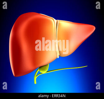 Liver Real Human Anatomy on blue background - Stock Photo