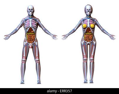 Anatomy Male Female - isolated on white - Stock Photo