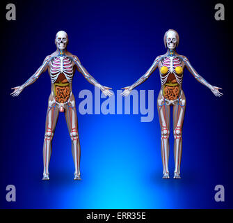 human skeleton with organs and circulatory system stock photo, Skeleton