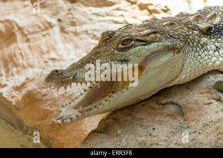Close-up Of Young Alligator Alligator closeup on sand and rocks at zoo - Stock Photo