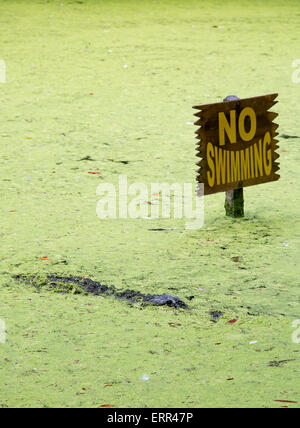 Homosassa Springs, Florida - An alligator in a lagoon next to a 'No Swimming' sign at Homosassa Springs Wildlife - Stock Photo