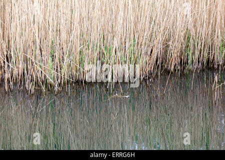 Tall grass by the edge of the pond - Stock Photo
