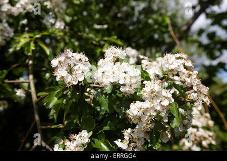 common hawthorn tree in flower in ireland - Stock Photo