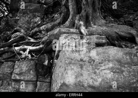 Tree roots growing through a limestone wall, Illam Hall, Ilam, Staffordshire, UK - Stock Photo