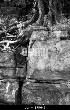 Tree roots growing through a limestone wall, Illam Hall, Ilam, Staffordshire, UK - Stock Photo
