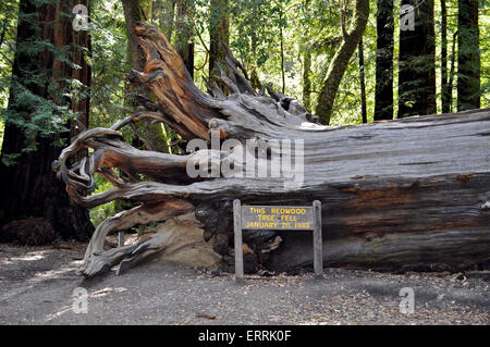 Fallen Coast Redwood tree, Big Basin Redwoods State Park, California - Stock Photo
