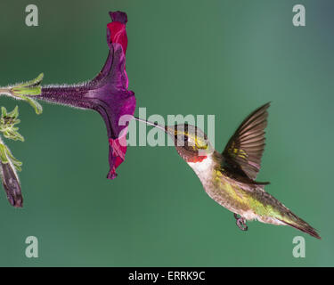 A ruby-throated hummingbird gathering nectar from a petunia. - Stock Photo