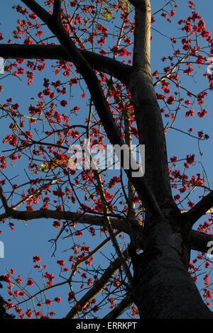 Flowering Common Coral Tree - Stock Photo