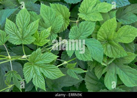 New hop leaves on vine 'Humulus lupulus'. - Stock Photo