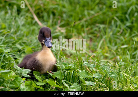 favorite blue ducks in green grass - Stock Photo