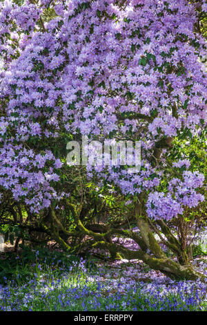 Purple rhododendron and bluebells in the woods of the Bowood Estate in Wiltshire. - Stock Photo