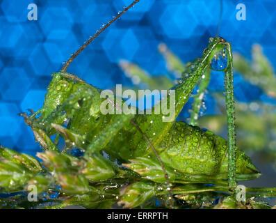 Green grasshopper in dew.(Tettigonioidea)(lat. Tettigonia viridissima) - Stock Photo