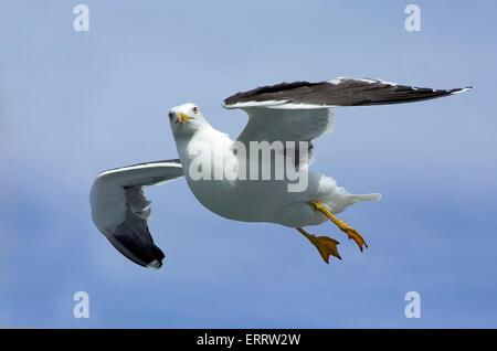 flying Lesser Black-backed Gull - Stock Photo