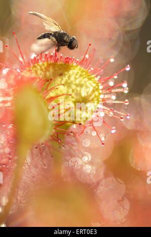 fly on common sundew Stock Photo