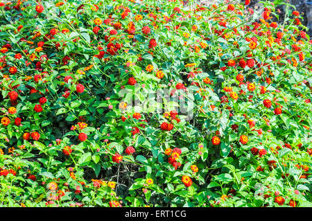 yellow and red Spanish flag (Lantana camara 'Spreading Sunset') flowers - Stock Photo