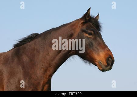 Mangalarga Marchador - Stock Photo