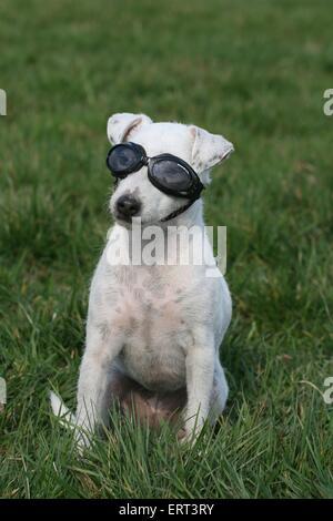 dog with swim goggles - Stock Photo