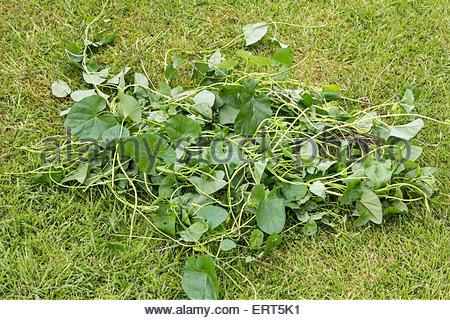 Bindweed - Convolvulus arvensis - Stock Photo
