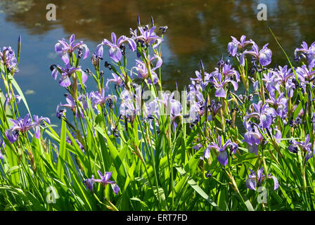 blue flag iris in garden - Stock Photo