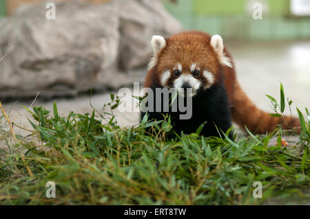 Red Panda Bear in Shanghai Zoo, China. The red panda (Ailurus fulgens), also called lesser panda, red bear-cat and - Stock Photo