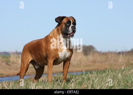 standing German Boxer - Stock Photo