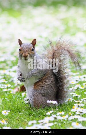 A common grey squirrel (Sciurus carolinensis) pauses among a bed of daisies in Sheffield Botanical Gardens, Yorkshire - Stock Photo