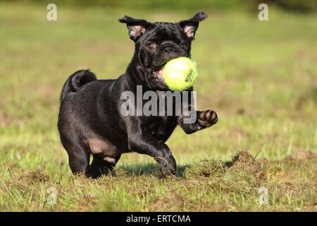 playing pug - Stock Photo