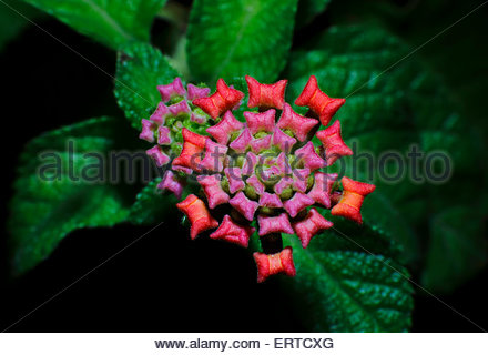 Cloth of Gold Flowers Lantana camara Verbenaceae - Stock Photo