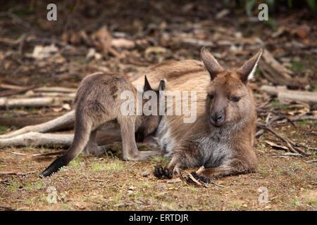 Kangaroo. Flinders Chase National Park, Kangaroo Island, South Australia. - Stock Photo