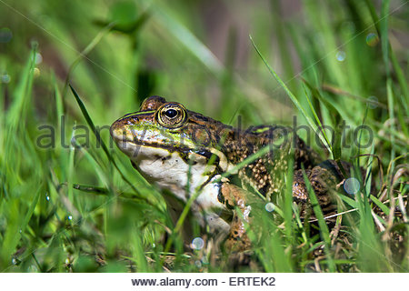 Pelophylax kl. esculentus known as the edible frog, common European frog, common water frog or green frog - Stock Photo