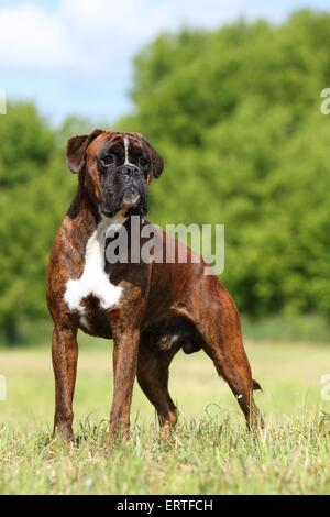 German Boxer - Stock Photo